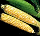 buy Park Seed Sweet Temptation Hybrid (SE) Corn Seeds now, new 2020-2019 bestseller, review and Photo, best price $6.95