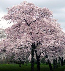 Hinterland Trading Japanese Yoshino Flowering Cherry 10 Seeds by Hinterland - Flowering Yoshino