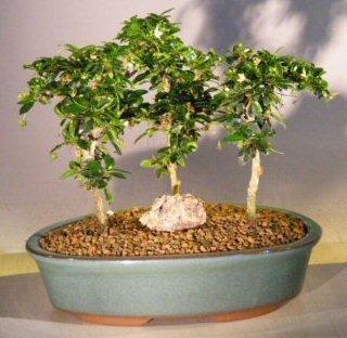 (Bonsai Boy's Fukien Tea Bonsai Tree Three Tree Forest Group ehretia microphylla)