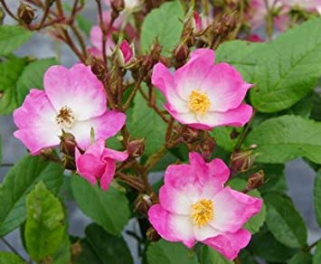 Apuldram Roses BALLERINA Potted Shrub Rose