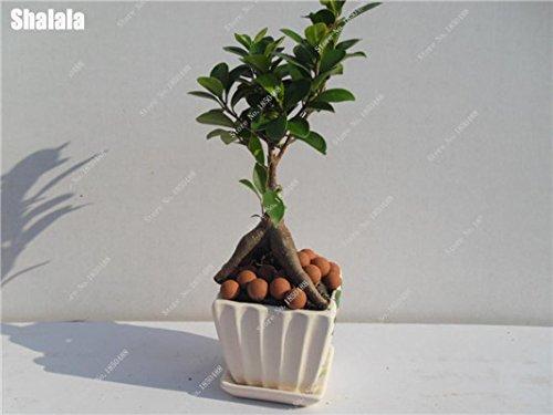 Garden Decoration Plant Miniature Banyan Tree Seeds Perennial Tree Bonsai Ficus Ginseng China Indoor Ornamental Plants 50 Pcs -