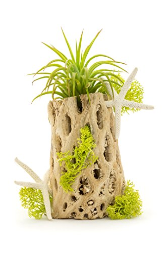 (Air Plant Cholla Wood Kit | Sea Side Cholla Wood | DIY Beginner Gift Set | 4