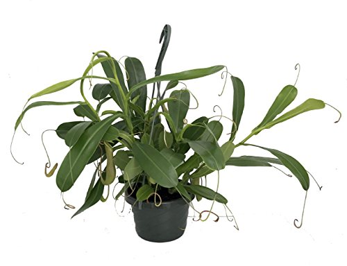 """Asian Pitcher Plant - Nepenthes - Carnivorous - Exotic - 6"""" Hanging Basket"""