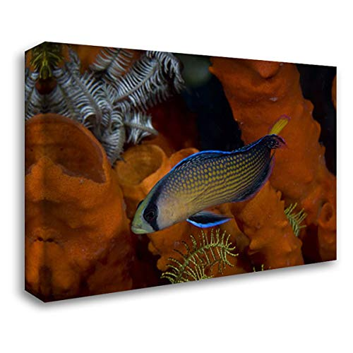 Dottyback Fish - Indonesia, Papua, Raja Ampat Dottyback Fish 38x26 Gallery Wrapped Stretched Canvas Art by Shimlock, Jones