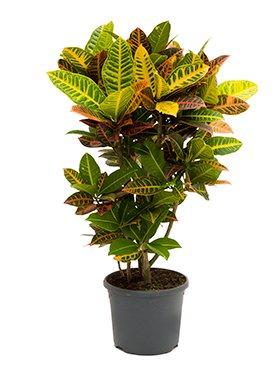 Kroton Croton Codiaeum Petra Ca 100 Cm Grosse Zimmerpflanze 29