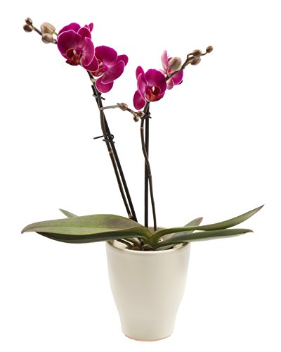 Color Orchids Live Blooming Double Stem Phalaenopsis Orchid Plant in Ceramic Pot, 15''-20'' Tall, Purple Blooms by Color Orchids