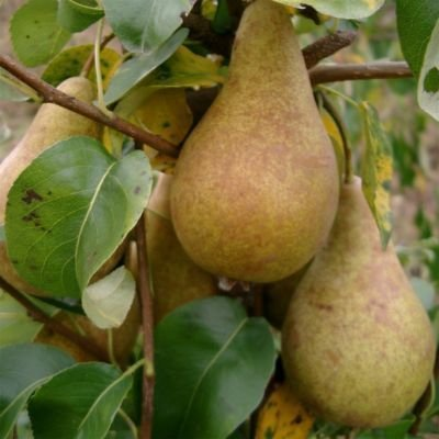 Concorde Pear Tree 4-5ft, 5L Pot, Self-Fertile,Ready to Fruit, Heavy Cropping beechwoodtrees 3fatpigs®