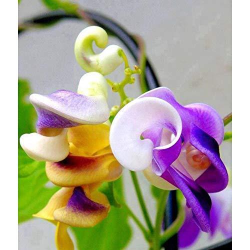 EEFRVDFFDE Snail Vine Seeds Wisteria Snail Bonsai DIY Home Garden Plants Pot Flowers Plants (100 Seed Pack)