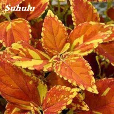 Kasuki 100Pcs Coleus Bonsai Rare Coleus Blumei Rainbow Mix Color Flower Bonsai for Home Garden Indoor Bonsai Plant Coleus Boleus Tohum - (Color: 5): Garden & Outdoor