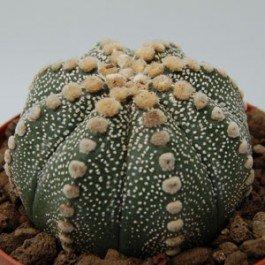 Astrophytum asterias (Sand Dollar Cactus) - 20 seeds CactusPlaza.com