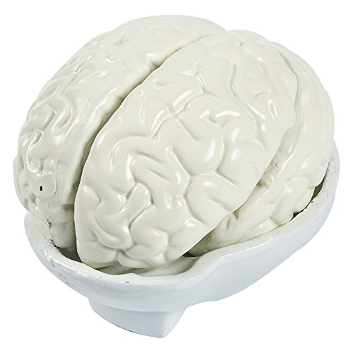 مدل مغز انسان - مجموعه مغز آناتومیک 6 قطعه - شامل پایه ذخیره سازی ، سفید ، 7 5 5 x 7.5 اینچ