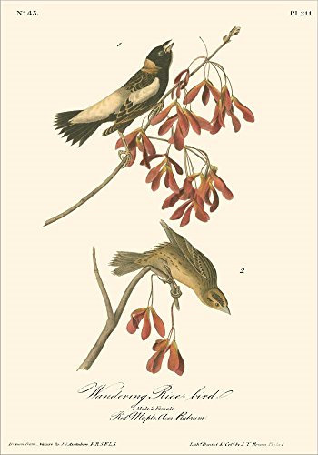 (Wandering Rice Bird by John James Audubon Laminated Art Print, 13 x 18 inches)