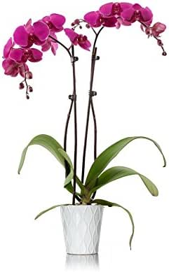 Just Add Ice 304209 Orchid, 5