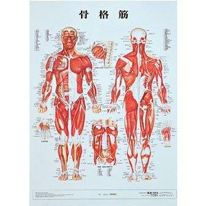 【メディカルブック】骨格筋 パネル入(SR-116B)   B005K6K6LW