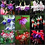 Free Shipping 100pcs Fuchsia Hybrida Hort Seeds,Bonsai Lantern Flowers,For Garden Home,Flores Semillas
