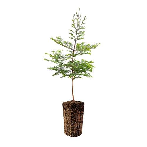 Dawn Redwood | XL Tree Seedling | The Jonsteen Company