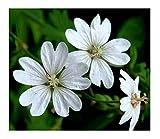 Hardy Perennial White Geranium pyrenaicum Snow 10 Seeds
