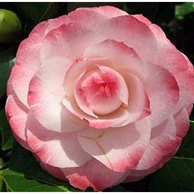 1 Quart Pot Grace Albritton Camellia Japonica Plant - NLR252 : Garden & Outdoor