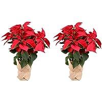 Planta Navidad - Pack 2 Plantas de Navidad - Flor de pascua - Poinsettia - Altura 55 cm - Planta natural - Envío gratis