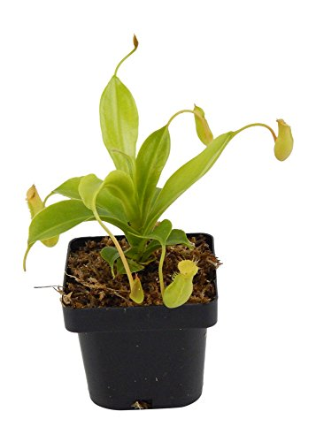 (Pitcher Plant Nepenthes - Carnivorous Plant - Small Potted)