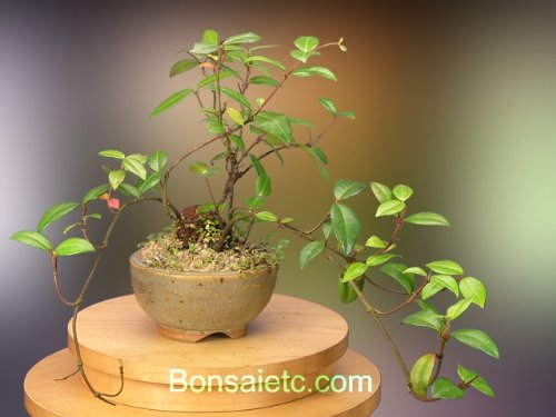 A Flowering Bonsai Tree for Indoor Apartment, Home and Office