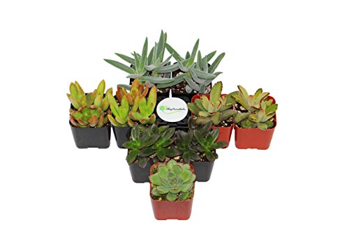 Shop Succulents Assorted Succulent Collection product image
