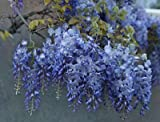 Amethyst Falls Wisteria Vine - Live Plant - 3