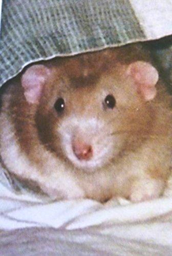 Dumby the Dumbo Rat (Dumbo Rat)