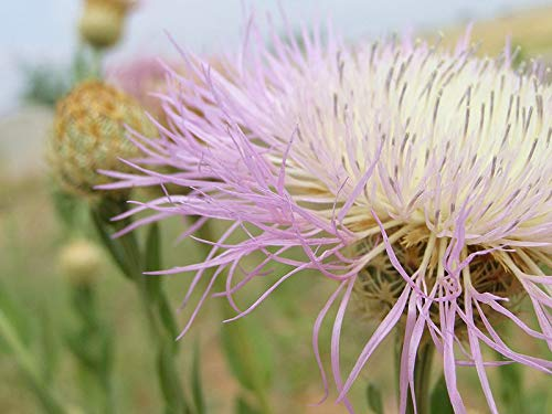 (61 Seeds of Centaurea Americana, Basket-Flower, American Star-Thistle, Basket Flower, American Starthistle, American Basketflower, Sweet Sultan, Shaving Brush )