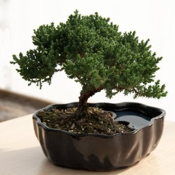 Reflections Tabletop Fountain - Zen Reflections Juniper Bonsai