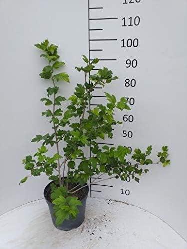 Sp/äth Sanddorn Hikul Wildobst essbar Zierstrauch winterhart 1 Pflanze Container C7,5