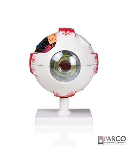 [해외]Parco Scientific PB00075 4X 실물 사이즈 휴먼 눈: 7 부품 / Parco Scientific PB00075 4X Life Size Human Eye: 7 Parts