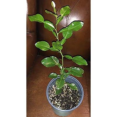 SOPHISTICATE Organic Seeds: Kaffir Lime Tree, Citrus Hystrix (Thai Makrut) Plant #1, 20†Grown from Seed!!! : Garden & Outdoor