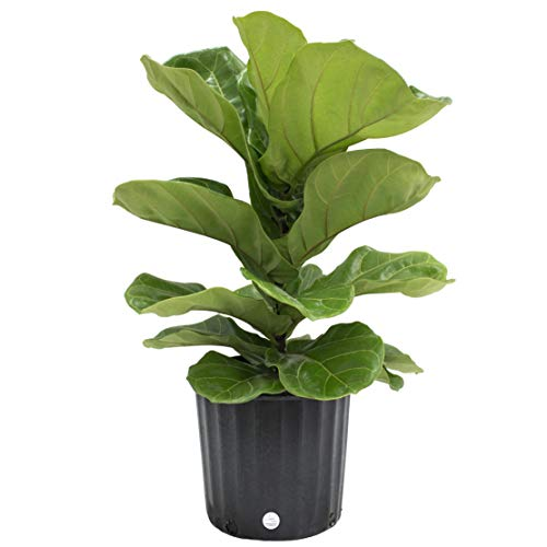Costa Farms Ficus Lyrata Fiddle Leaf Fig Tree, Live Indoor Plant, Grower's Pot, 20 to 24-Inches Tall ()