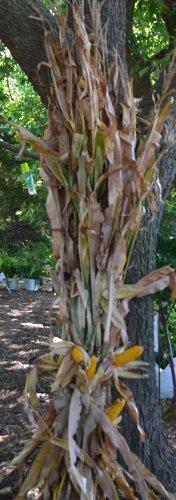 Dried Corn Stalk Bundle - 12 Per Bundle - Corn Shucks