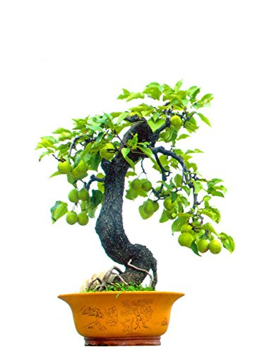 Pear Tree Mini (HOO PRODUCTS - 10 PC mini potted pear tree seed, Chinese fruit plants Cheap!)