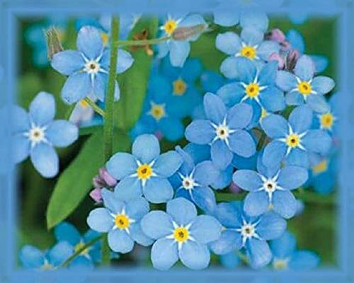 Chinese Forget-Me-Not Flower Seeds, Cynoglossum Amabile, 1 Oz Pack (6,000 Seeds)