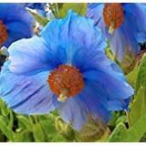 250+ Himalayan Blue Dutch Poppy Seeds / Currently Buy One Get One Free/ Free Shipping