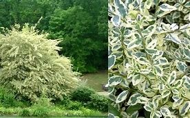 (Pixies Gardens (1 Gallon) Variegated Privet - light-cream to white edge leaves give the whole plant a bright and vibrant appearance.)