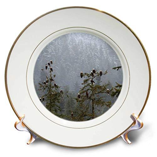 - 3dRose Danita Delimont - Eagles - USA, Alaska. Bald Eagles congregate in Trees. - 8 inch Porcelain Plate (cp_314512_1)