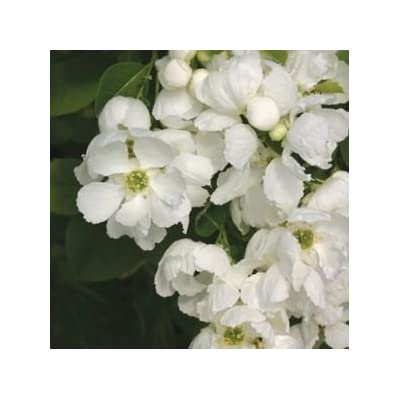 Exochorda-Snow-Day-Blizzard - QT Pot (Shrub) : Garden & Outdoor