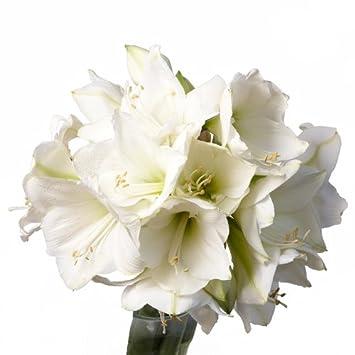 Blumenstrauss Schnittblumen 5 Amaryllis Weiss Seidenkiefer