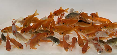Toledo Goldfish Live Comet Goldfish for Aquariums, Tanks, or Garden Ponds - Live Common Feeder Fish - Born and Raised in The USA - Live Arrival Guarantee - Small (.75