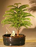 Norfolk Island Pine Bonsai Tree Land/Water Container - Small