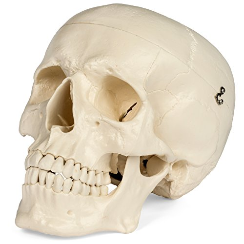 (Maad Scientific Medical Anatomical Skull Model - 3 parts - Life Sized Human)