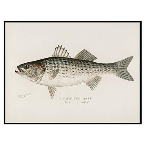 Striped Bass Fish Print, Vintage Fishing Poster Wall Art Decor, Rockfish Gift for Dad, Man, Fisherman Fishing Gifts Fish Artwork | C19 20x30