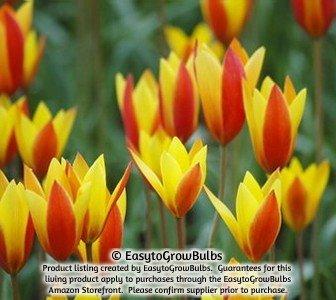 Yellow Species Tulips Clusiana Chrysantha - 10 robust bulbs - 5+ cm Miniature Tulip