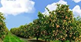 12 Live Plants Tangerine Trees''Farmer Pack'' Very Rare Fresh