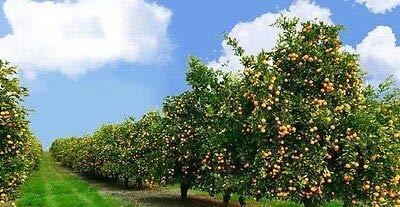 12 Live Plants Tangerine Trees''Farmer Pack'' Very Rare Fresh by Ginger (Image #2)