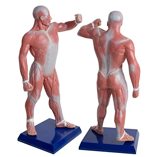 ixaer Anatomical Human Muscular Figure Model,/4 Life Size, 19.6''
